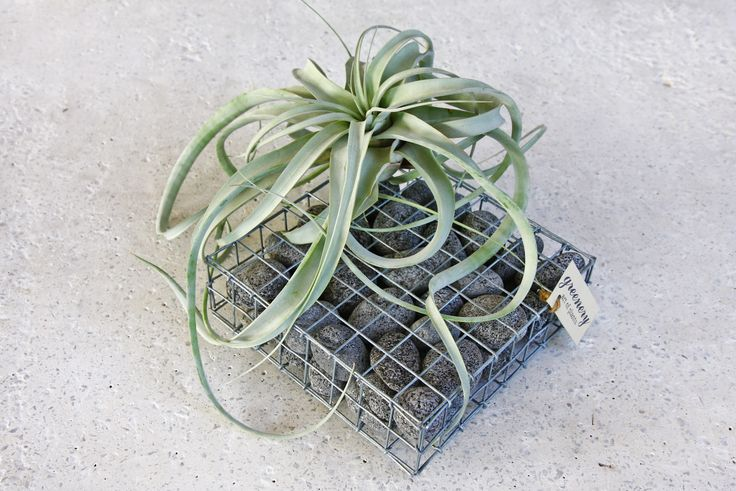 Gabion tray with anthracite pebbles with air plant – Gabion creations by greenery