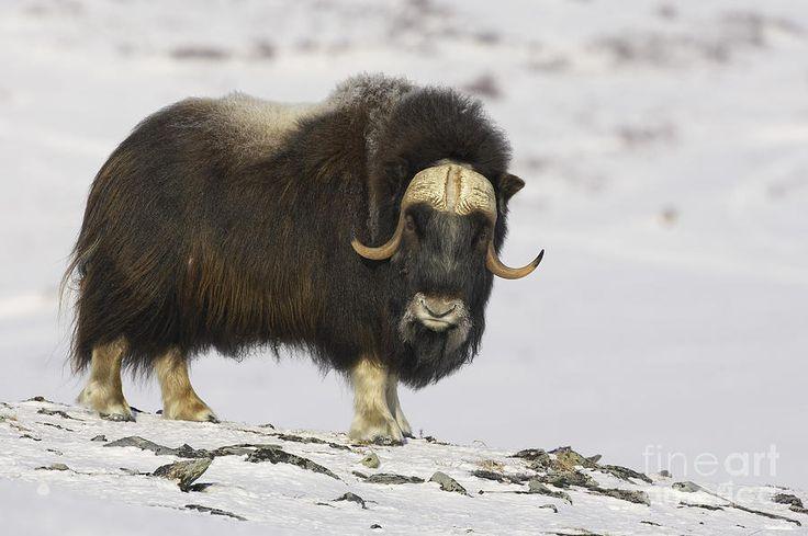 Musk Ox Canadian Wildlife Pinterest Photographs
