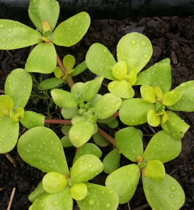 Purslane Seeds - Golden,Rich in vitamin C and the highest-known plant source of omega-3 fatty acid.