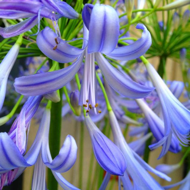 African Lily -Zeze Flowers NYC- photo: @JaneDrakeHale