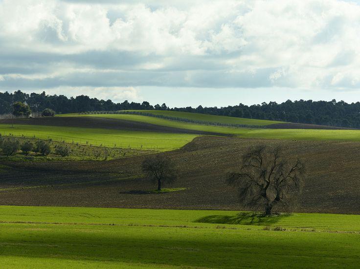 Sani wheat & olive fields by Fokion Zissiadis, via 500px