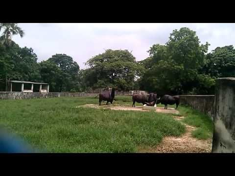 Big Buffalo in the zoo of BangladeshAwsome Buffalo in the ZooNice Buffalo Big Buffalo in the zoo of BangladeshAwsome Buffalo in the ZooNice Buffalo Hello viwers congratulations of my video worldI have tried hard to make a best tutorial for my viwersall of my tutorials are very important for all ageshere you can get filmjokesbeautiful scenerymusicdremasocial work educational and many helpful tutorial.In the following there are some link has given for contacts and use.Most links are very…