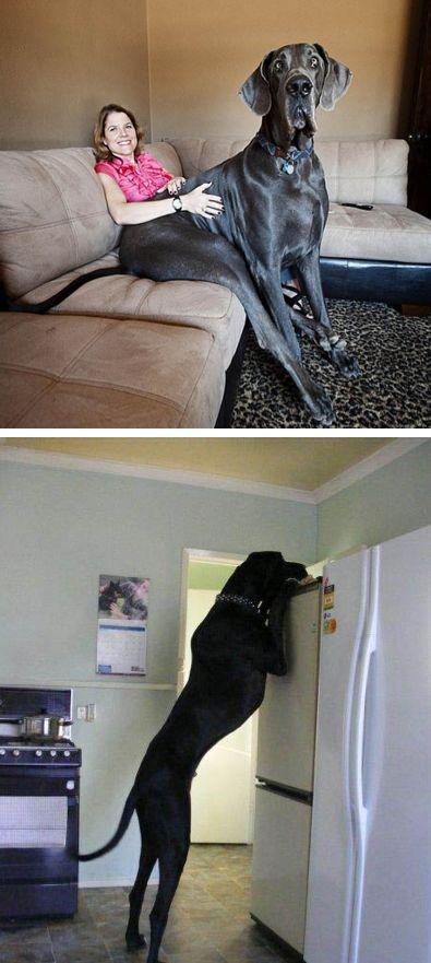17 best ideas about tallest dog on pinterest largest great dane worlds largest dog and. Black Bedroom Furniture Sets. Home Design Ideas