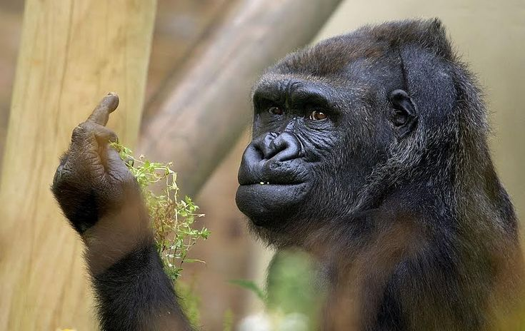 A visitor to the Bristol Zoo in England got a profane surprise when he took a picture of a gorilla and the gorilla wasn't having it.   A Photographer Captured A Gorilla Giving The Middle Finger