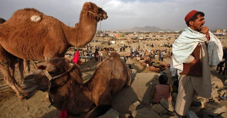 Vendedor espera por clientes em um mercado em Cabul, no Afeganistão, neste domingo (13). A venda de animais cresce nesse período devido à proximidade do feriado de Eid al Adha, ou Festa do Sacrifício, que marca o fim do Hajj, peregrinação anual a Meca, e comemora o sacrifício que Deus exigiu de Abraão para testar a sua fé