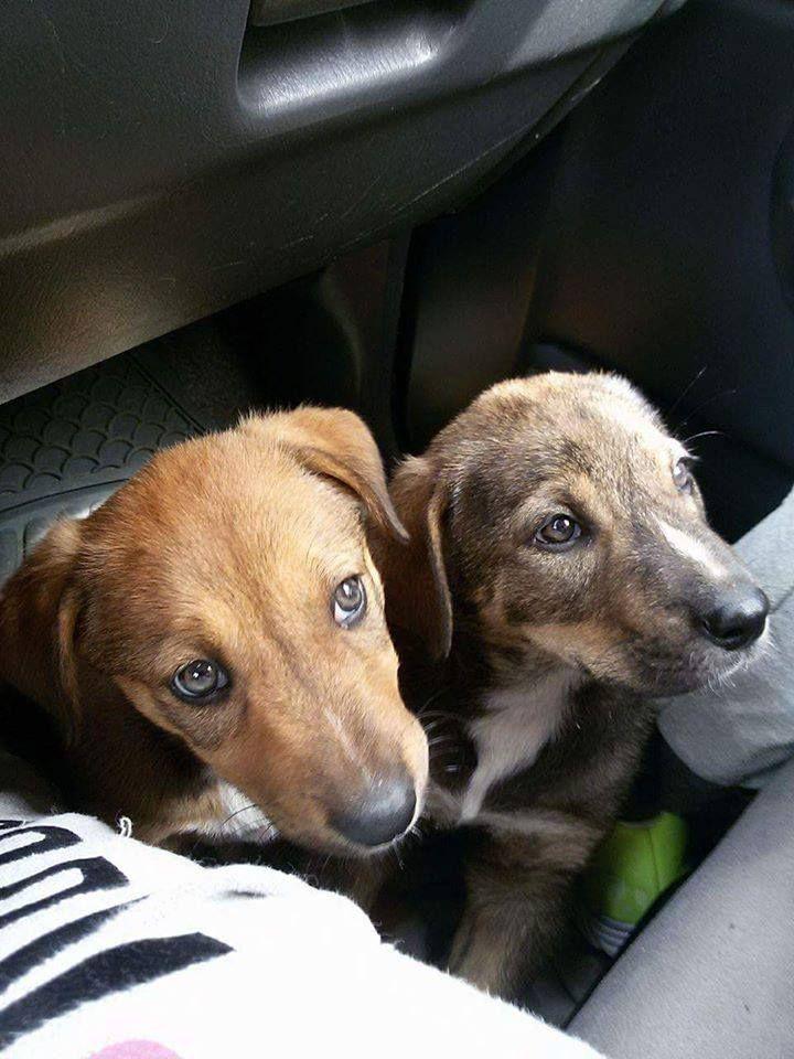 Ο Romeo και η Juliet, δύο πανέμορφα αδερφάκια! Είναι 3 μηνών περίπου και θα γίνουν μεσαία σε μέγεθος. Παρακαλώ πολύ βοηθήστε με κοινοποίηση μήπως σταθούν τυχερές αυτές οι ψυχούλες. Αν ενδιαφέρεστε επικοινωνήστε με ένα μήνυμα ή τηλ.... 6985705866 η 6985742361 ή 6941477004 #adopt #kivotos #alexpoli #adoption #strays