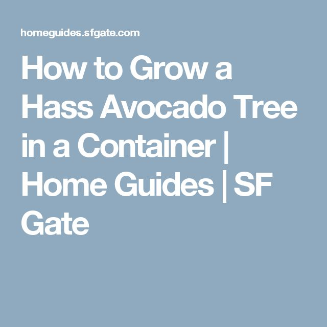 How to Grow a Hass Avocado Tree in a Container | Home Guides | SF Gate