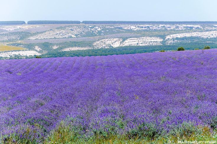 Лавандовые поля у села Тургеневка, Крым