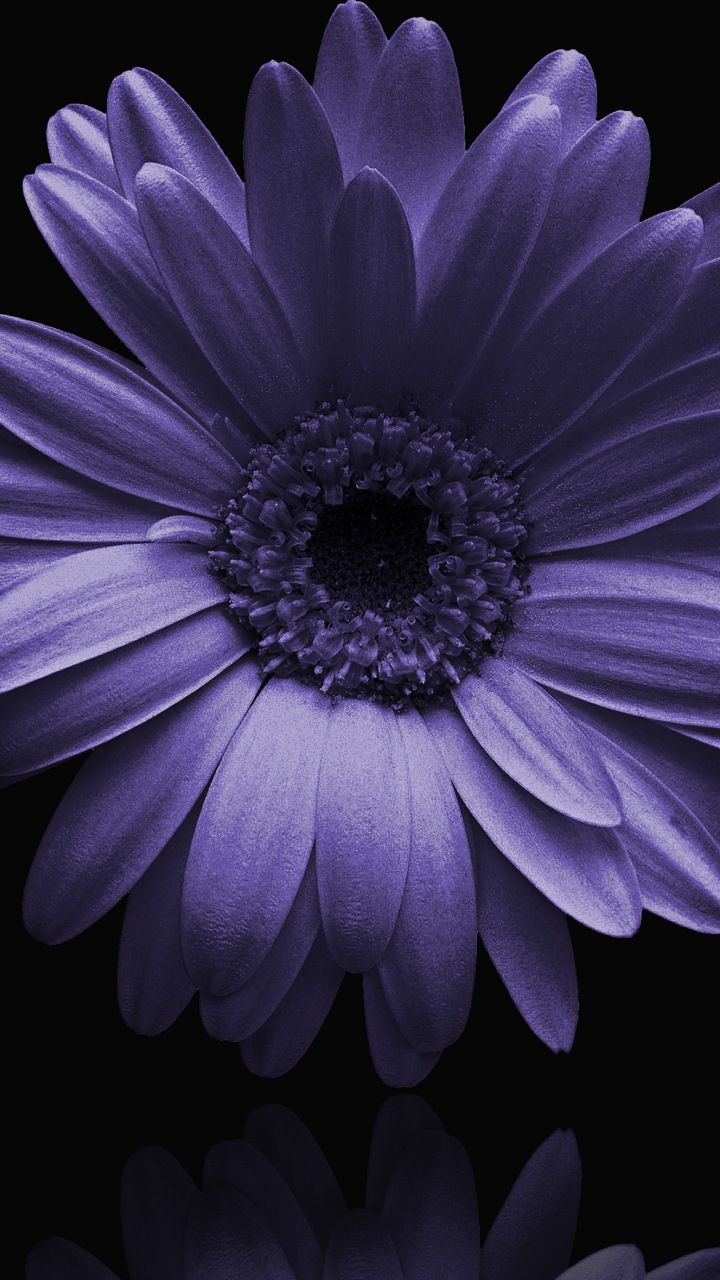 Portrait, blue gerbera, flower, 720x1280 wallpaper