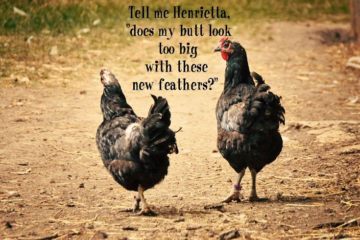 25 Best Chicken Quotes On Pinterest: 17 Beste Afbeeldingen Over Chicken Humor Op Pinterest