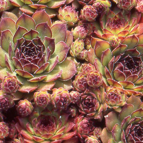 SEMPERVIVUM 'Noir' (Joubarbe) : Ce genre populaire réunit une incroyable diversité de formes et de couleurs qui lui valent toujours un grand succès. Les joubarbes se contentent de très peu de terre et apprécient le soleil. Rosettes pourpre très foncé, presque noires, centre vert clair. Fleurs roses.
