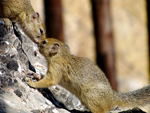 """So Kiss Me.."", Squirrels love, Namibia"