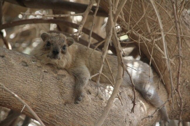 "This is the best hyrax in Ein Gedi! We called it ""Grandma"" :)"