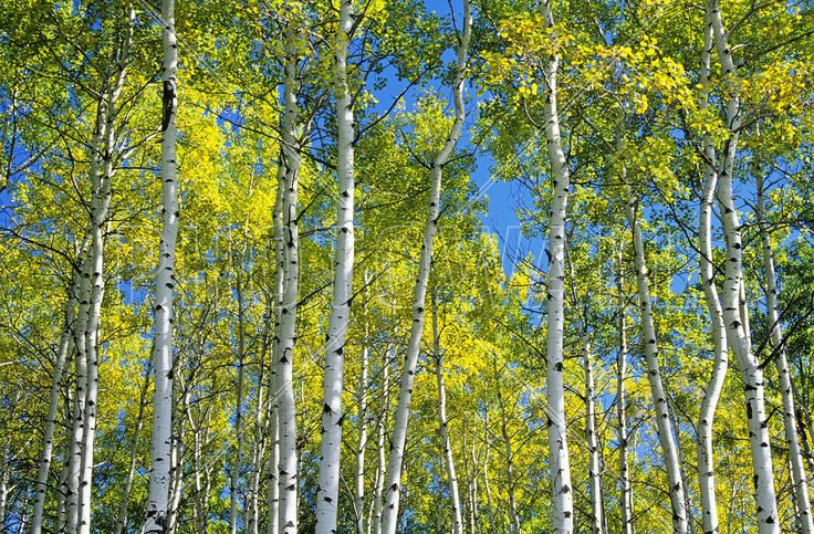 Trembling Aspen Trees - Fotobehang & Behang - Photowall