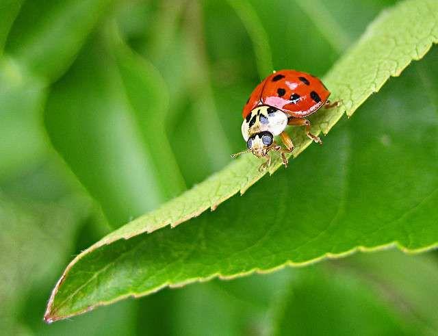 La coccinelle asiatique menace ses cousines européennes. Une étude vient de montrer qu'elle véhicule des microsporidies, des parasites qui infectent les espèces locales et les tuent. Cette...