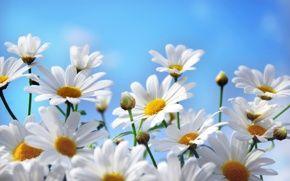 Обои цветы, ромашки, лепестки, природа, небо
