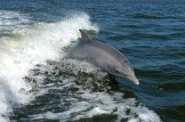 Fun Dolphin Facts for Kids - I plan on sharing some of these facts in letters to my sponsored children, along with photos I took of dolphins and some dolphin coloring pages