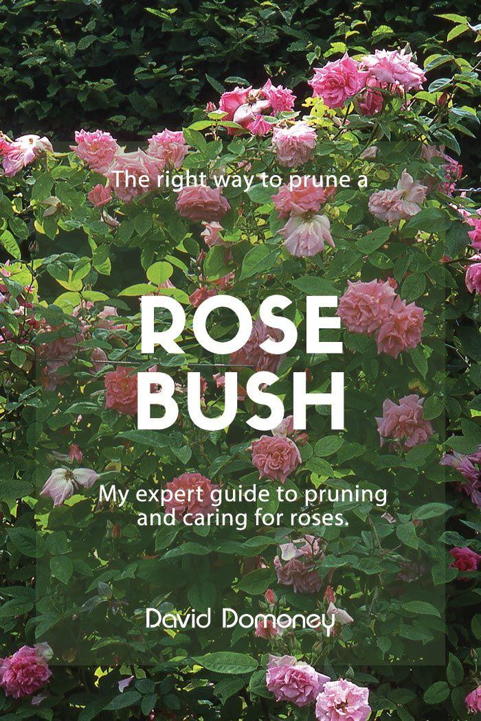 The Right Way To Prune Back A Rose Bush In 2020 Rose Care Rose Bush Floribunda Roses