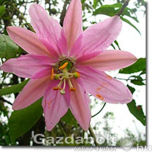 300    Molyhos golgotavirág (Passiflora mollissima) 5 szem