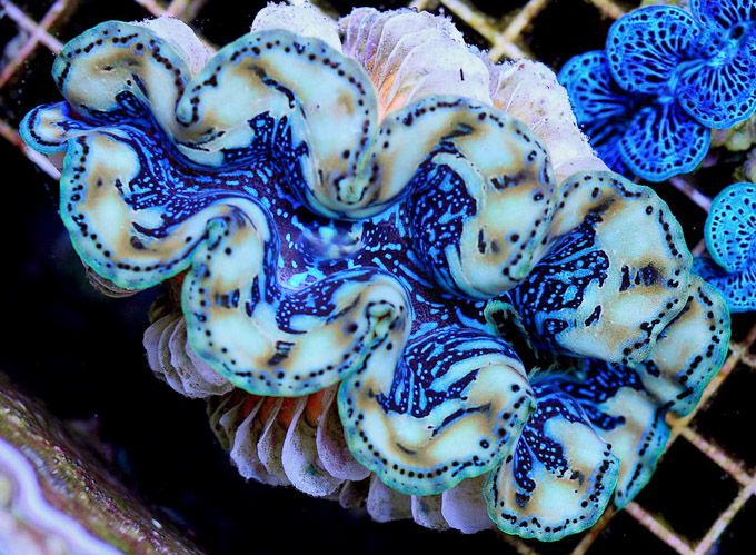 This Samoan clam bears all the hallmarks of a Tridacna 'maxea' and it is flanked by a typical blue Tridacna maxima color morph that is often seen from Cook Islands.