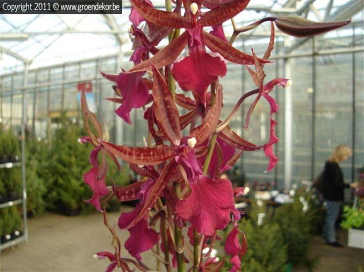 Cambria Orchidee | Cambria Orchidée