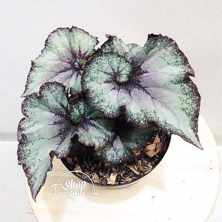 Begonia Escargot  atau kalo di sini dibilangnya Begonia Keong. .. Pertama kali liat di Google cakep banget spiral ungu-nya terus penasaran dicari terus ke petani-petani seJakarta akhirnya nemu di Bogor  #laginiat .. Stoknya masih terbatas. Nanti wa aja ya