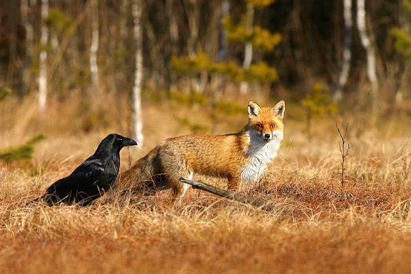 Raven and Fox    fotoplatforma.pl - L'Assommoir