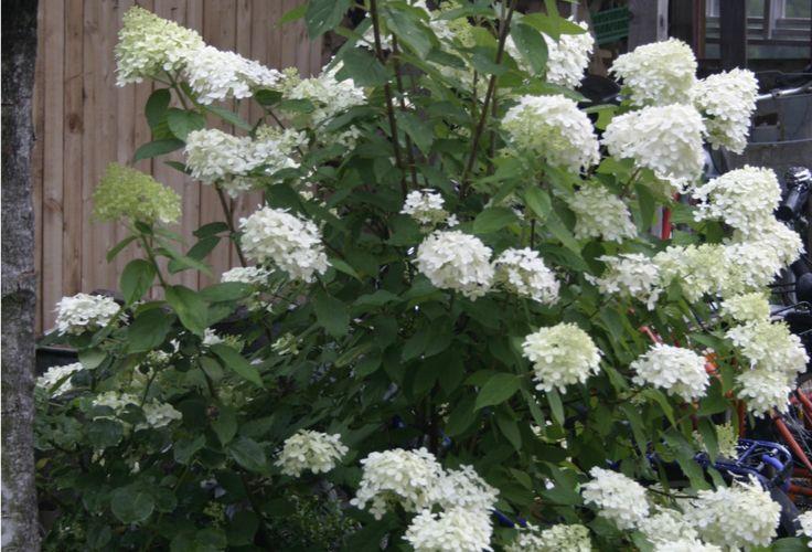 Eine wunderschöne Rispenhortensie die im Spätsommer Galnz in deinen Garten bringt