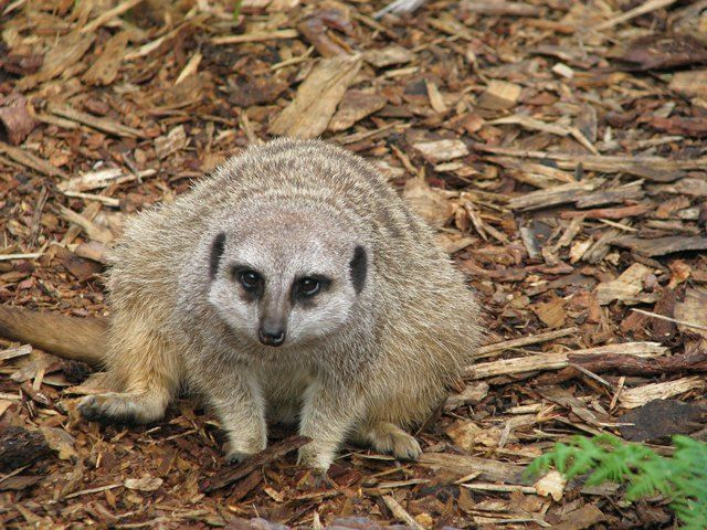 Meerkats may slow the increase of agricultural pest population, in particularly Lepidopterans. In addition, meerkats adapt well to captive settings and are a popular zoo exhibit animal.