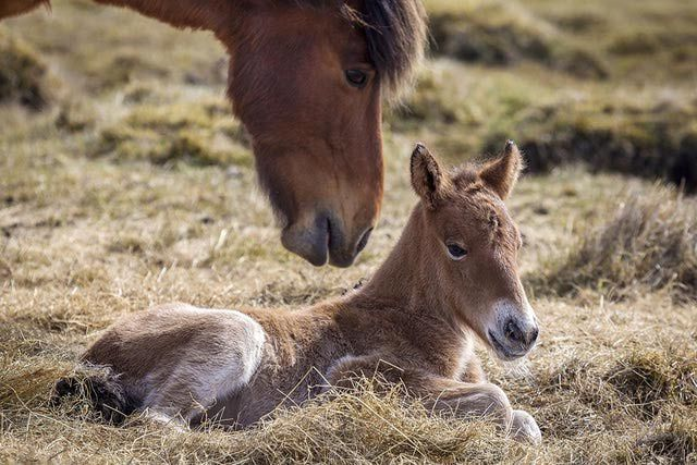 Horse to Human Age Comparison  Horse AgeStage of LifeHuman AgeStage of Life 1Foal, Weanling, Yearling6.5Infancy, Babyhood, Toddlerhood, Preschooler 2Two Year Old13Adolesence/Puberty, 3Three Year Old18Teenager 4Four Year Old20.5Young Adult 5Physcial Maturity24.5Adulthood 7 28  10 35.5  13Middle Aged43.5Middle Aged 17 53  20Senior60Senior 24 70.5  27 78  30Extreme Old Age85.5  33 93  36 100.5