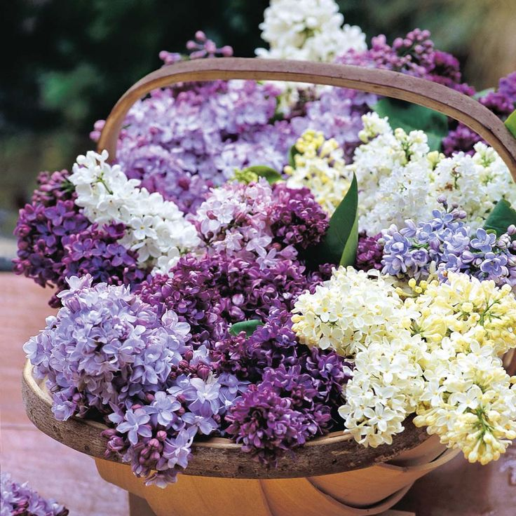 Lilacs, I want lots and lots of lilacs. Every color as long as they smell nice. Syringa vulgaris - orgona virágok