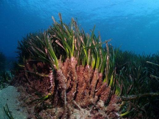 LE PRATERIE DI POSIDONIA OCEANICA, LE FORESTE PLUVIALI DEL MARE, ECCO COME FUNZIONANO | MezzoStampa - l'informazione di Scafati e dintorni