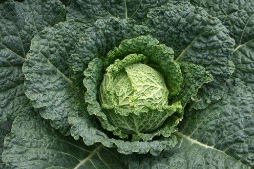 Савойская капуста (Savoy Cabbage)