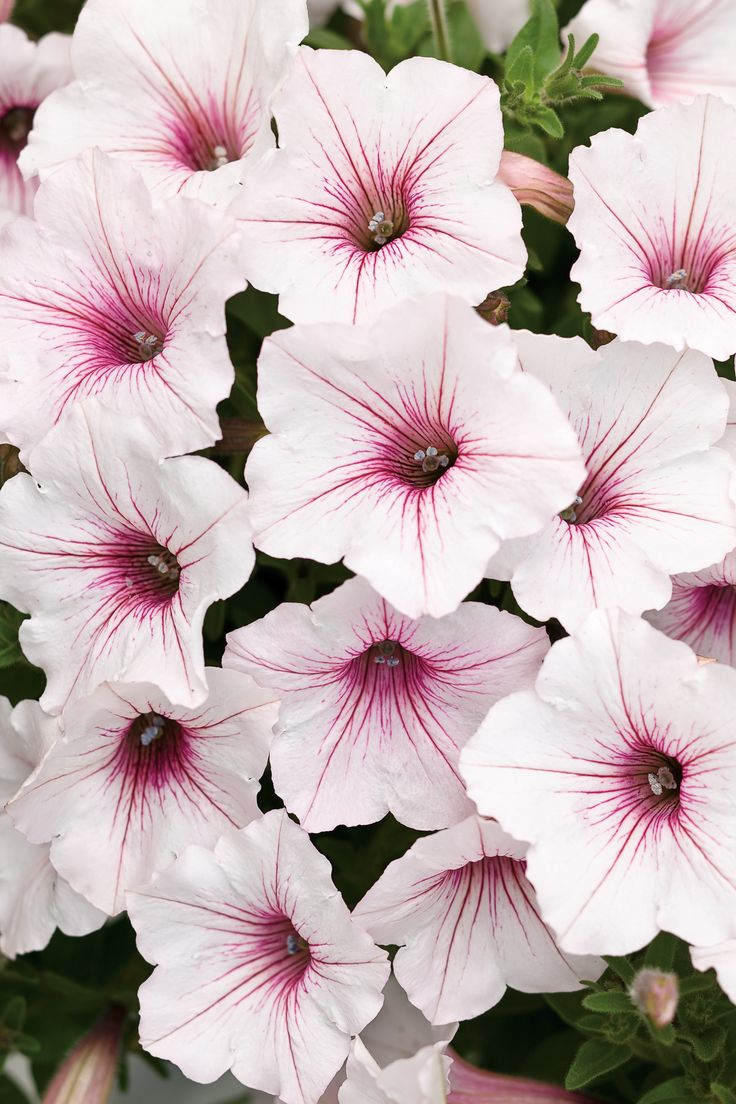 Supertunia Vista Silverberry excels in the landscape, with each plant growing up to 5 feet in width and 2 feet in height! It is heat tolerant and will bloom through fall. Best in full sun. www.emfl.us/wVHd