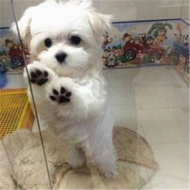 What Breed Of Dog Is A Maltese Facts And Pictures Cute Baby