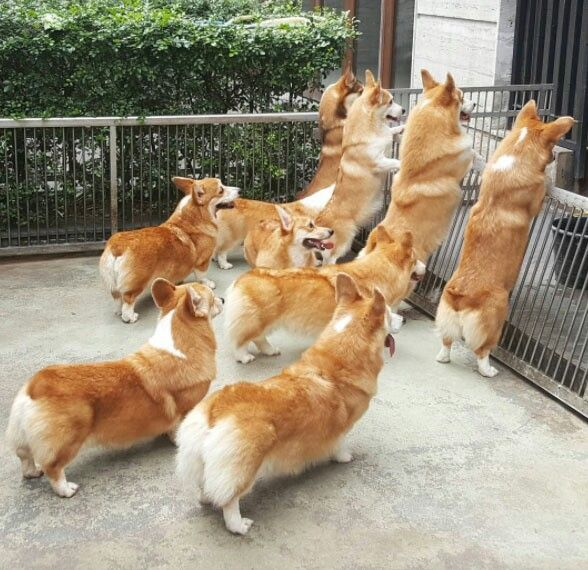 Corgis on a mission