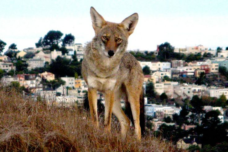 """In 2002, a coyote casually boarded a MAX train at the Portland, Oregon airport and curled up in a corner seat. In 2007, one walked into a Quizno's downtown Chicago and headed for the soda fridge. And they keep coming, careful and curious. 'We built civilization,' wrote Craig Childs  in The Animal Dialogues, 'and they are doing a better job of using it than we are.'"""
