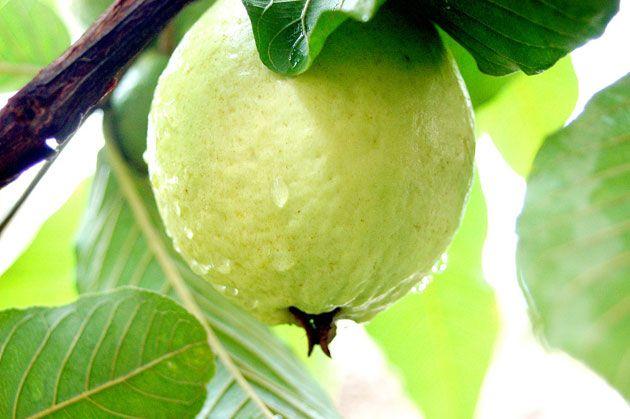 فوائد تعرفي على فوائد تناول ثمار الجوافة وشرب مغلي الجوافة Guava Fruit Guava Health Benefits Guava Benefits