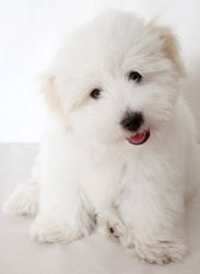 "Coton de Tulear -Can live in an apt w/out a yard -Daily walk -Daily combing and brushing -V little dander, little hair they shed gets trapped in their coat -""Excellent"" for people with allergies"