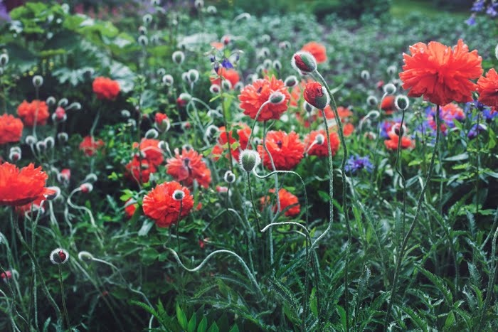 Suvi sur le vif: poppies from mom's garden
