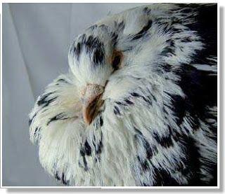 Buchón alemán antiguo - Razas de palomas