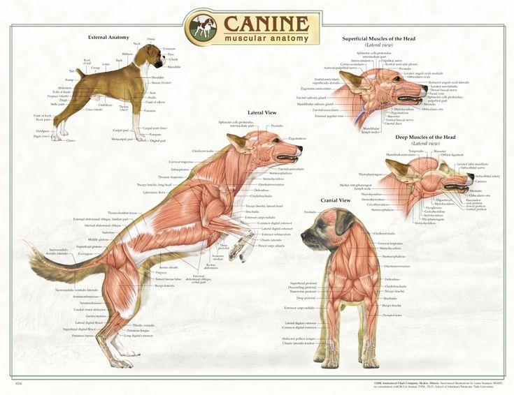 veterinary anatomy - Google Search