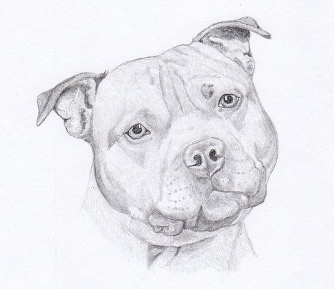 Image result for staffordshire bull terrier pencil drawings