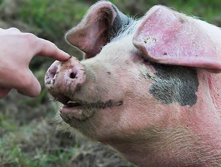Lulu The Pot-Bellied Pig Saves Life of Owner...see more at PetsLady.com -The FUN…