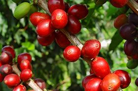 Colombia es el primer país productor de café /Fot. http://www.flickr.com/photos/100porcientocafedecolombia/3003886953/sizes/o/.