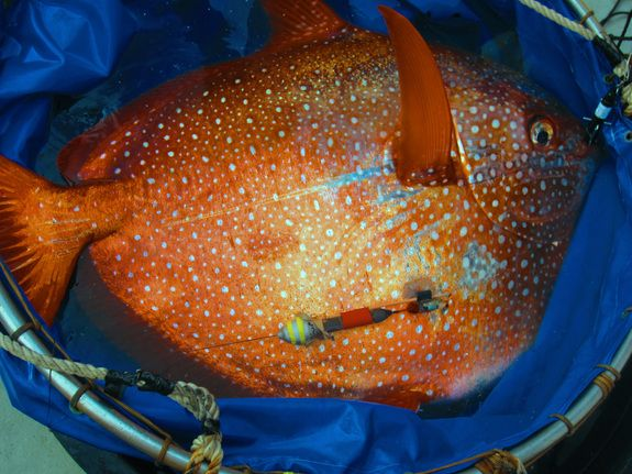 moonfish, warm-blooded fish