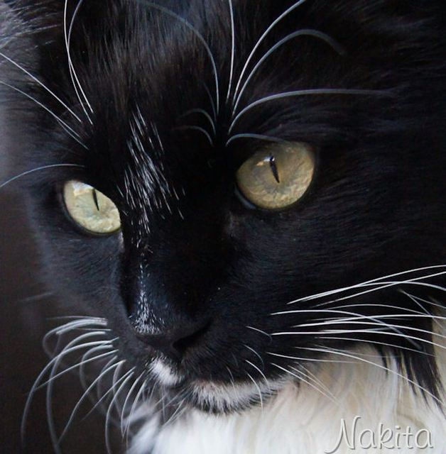 Pictures of Tuxedo Cats