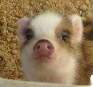 Florida Micro Miniature Teacup Piglets for Sale - Florida Mini Pigs www.sandycreekminipigs.com