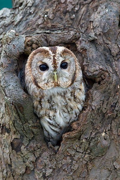 Tawny Owl - Mark Hancox Bird Photography