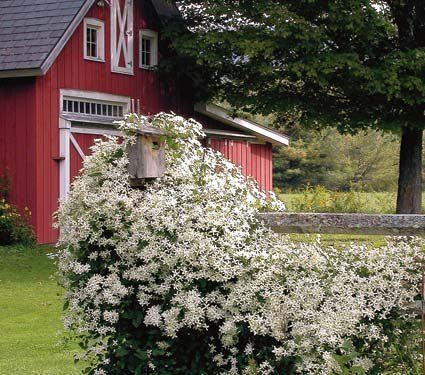 Sweet Autumn Clematis is a gorgeous sight when covered in pure white, lightly fragrant flowers in late summer. Becomes a silvery mass of fluffy seed heads in the fall. Impressive covering an arbor, fence or garden shed. Love Sweet Autumn, I have grown it for years!